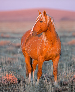 Wild Stallion at Sunset