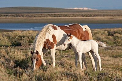 Wild Horse Mare and Colt, SW Wyoming 7523