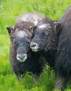 Two Musk Ox Calves
