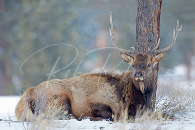Young Bull Elk in Rocky Mountain National Park