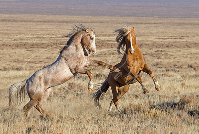 Stallions Fighting in the Red Desert