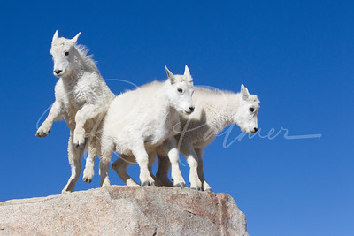 "Mountain Goat kids, ""King of the Mountain"""