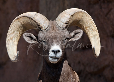 What's UP?  Desert Bighorn