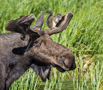 """""""Rocky and Bullwinkle"""" or """"moose and squirrel"""" a composite image so no this is not real."""