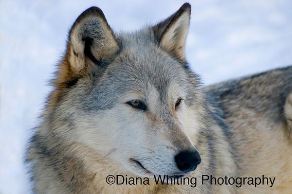 Wolf 2captive
