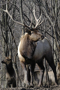 Male Elk With Females