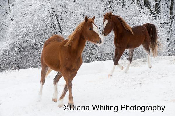 Horses Against Hoar Frost