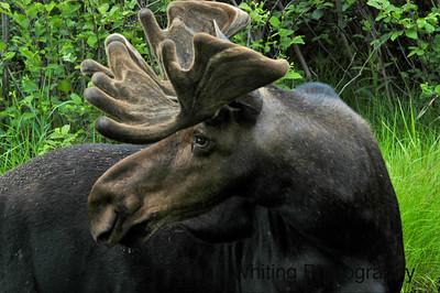 Moose Male