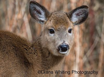 Young Deer Winter