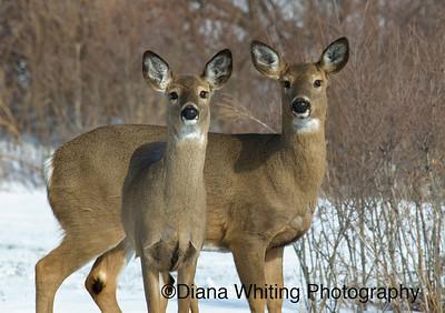 Female Deer Winter