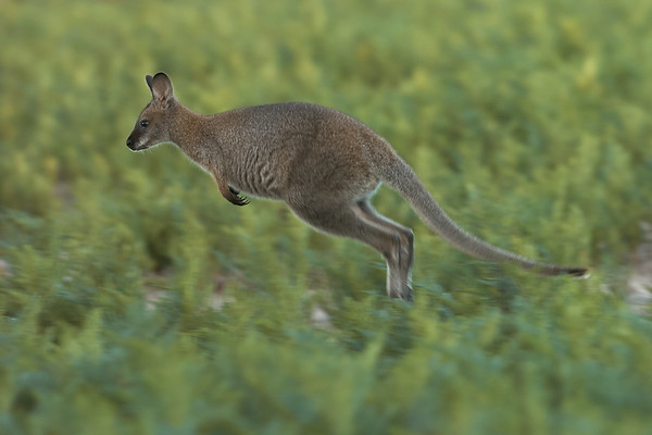 Wallaby Portrait #2
