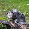 Opossum Mother with Joeys