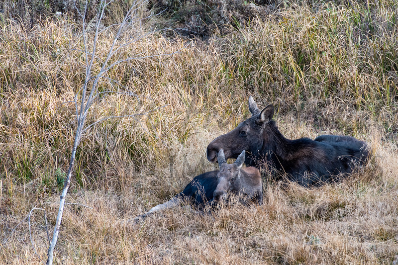 Moose and Calf in the Tall Grass