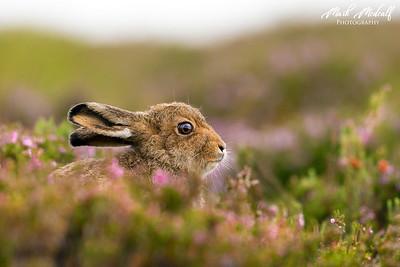 Hare & Heather