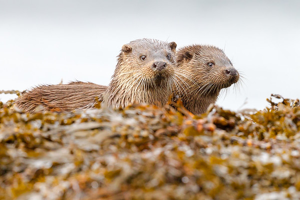 The Pair of Otters