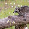 Raccoon Kit