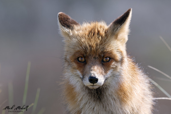 Cutey Fox Portrait