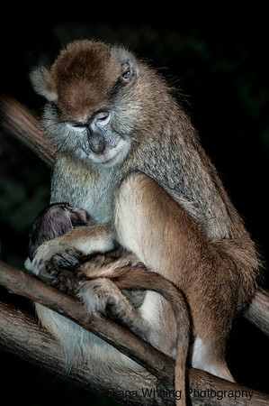 Pata Monkey and Baby