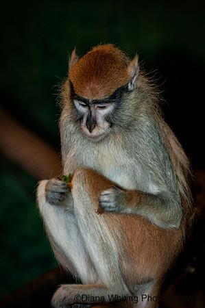 Pata Monkey