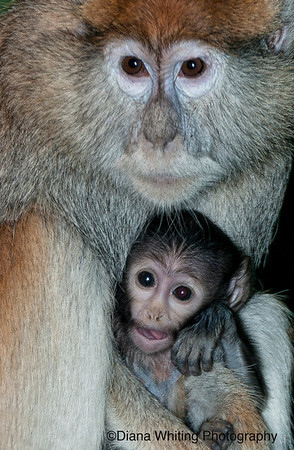 Pata Monkey with Baby 2