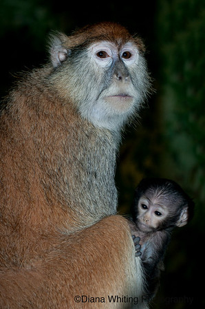 Pata Monkey with Young