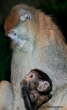 Pata Monkey with Child  -Diana Whiting-685-5684 copy