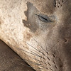 Elephant Seal Sleeping