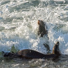 Sea Lions and Surf