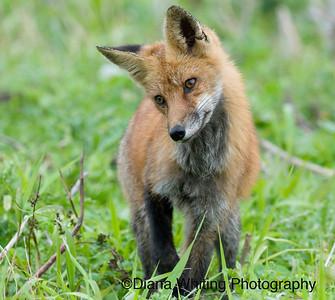 Fox Listening as it Hunts