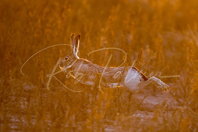 Blacktailed Jackrabbit on the run
