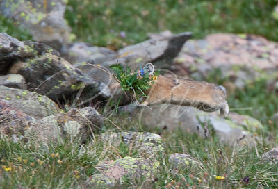 Pika bringing home some flowers, 65311
