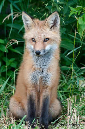 fox kit 3 june 2011