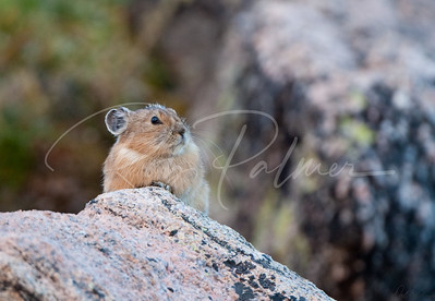 Pika along Mt. Evans Road, 65261