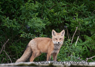 Fox Kit June 2011