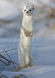 Ermine Standing Tall