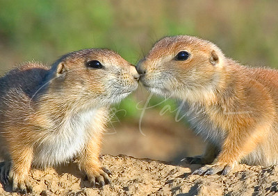 Young Prairie Dogs