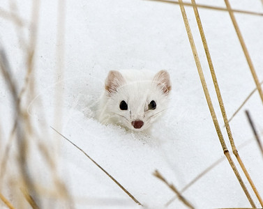 Ermine peeking out of snow
