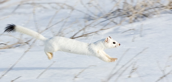 Jumping Ermine