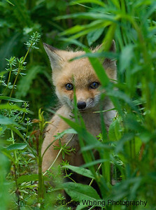 Peek a Boo Fox Kit