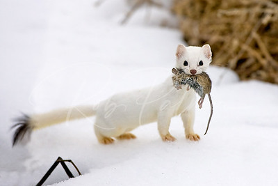 Ermine with Mouse