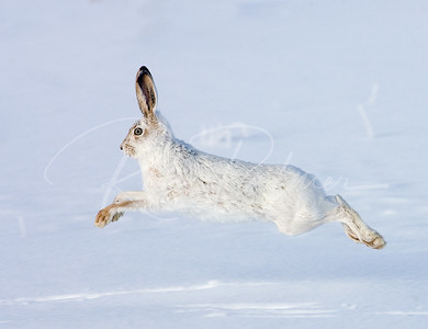 White Tailed Jackrabbit in Winter Coat
