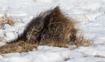 Porcupine in the snow