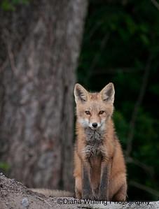 Fox Kit June 2011 2