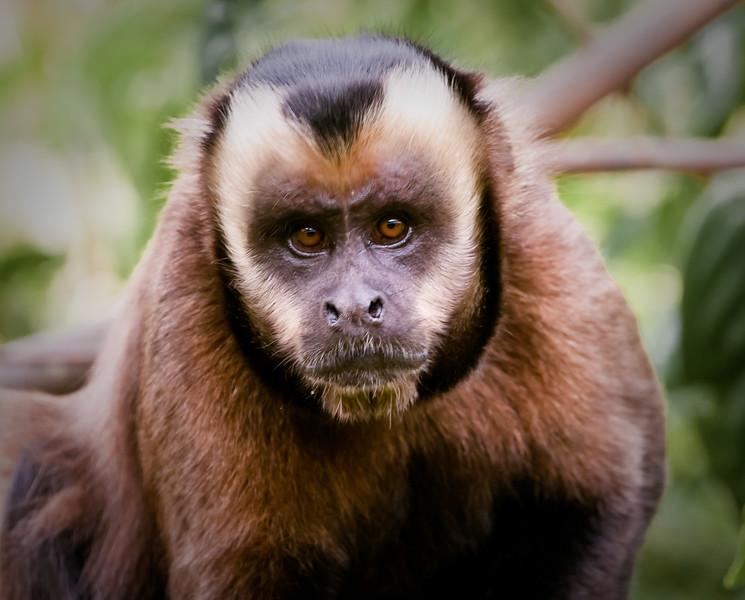 Brown Capuchin, Rio Kosnipata valley, SE Peru