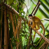 Common Squirrel Monkey, Madre de Dios River Valley, SE Peru