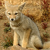 South American Fox, Torres del Paine NP, Chilean Patagonia  January 2005