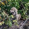 Jaguar (f)
