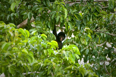 Black Spider-monkey