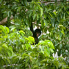 Black Spider-monkey,  Madre de Dios Valley, SE Peru  August 2011