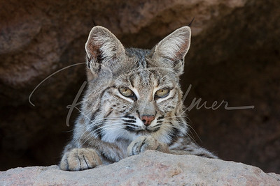 Female Bobcat 7082